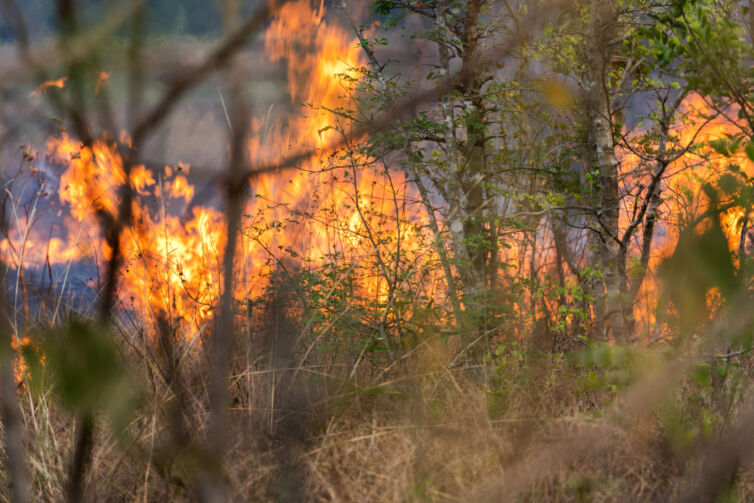 Wildfire, burning flames in the forest